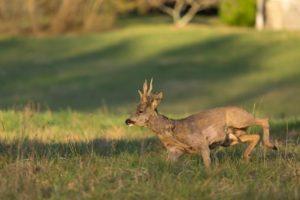 chevreuil a l'approche faune gibier Haute-Savoie
