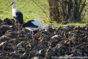 Cigogne en migration Haute-Savoie