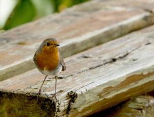 rouge-gorge,oiseaux,chant,beauté