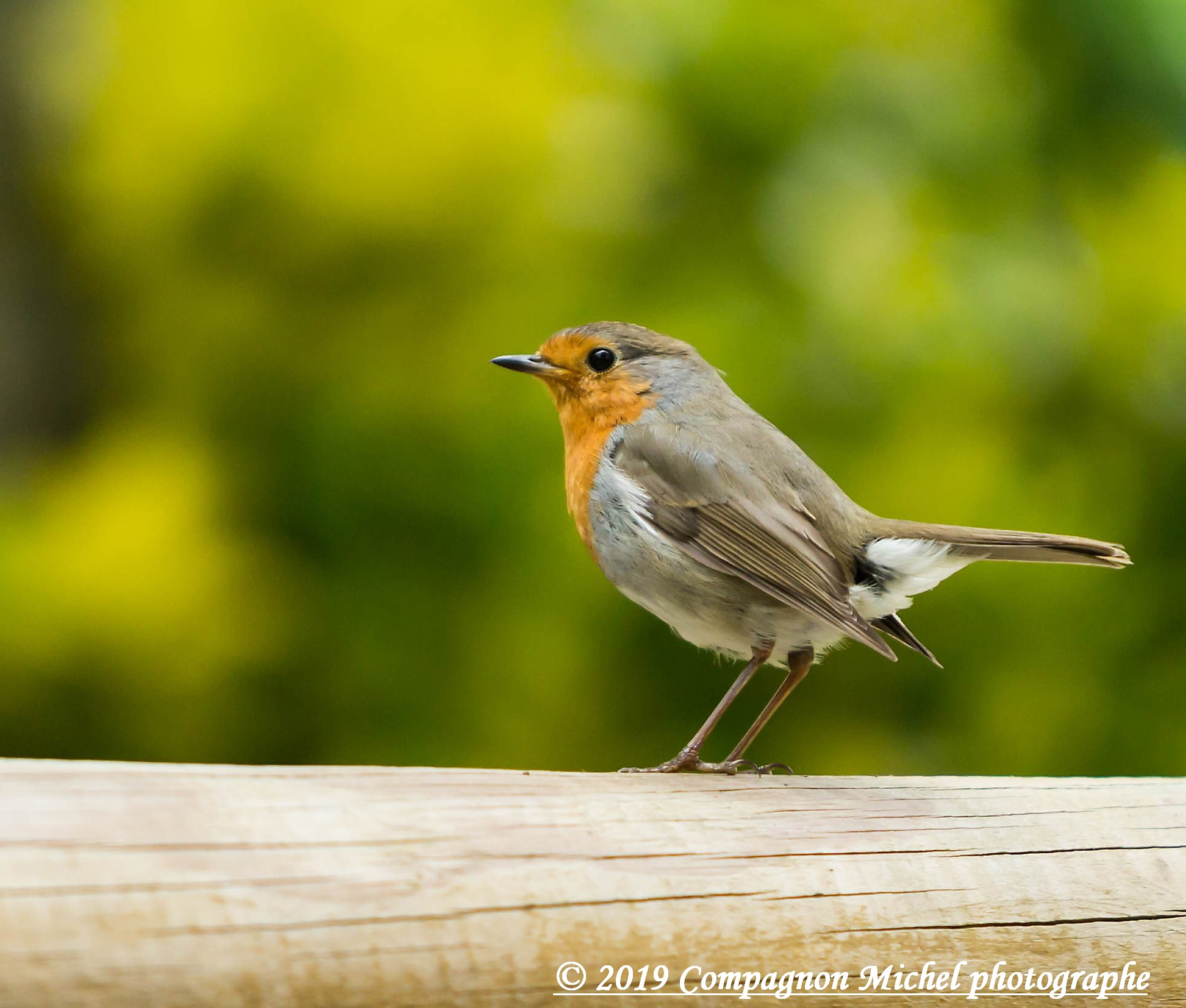 oiseaux,chant Roug-Gorge