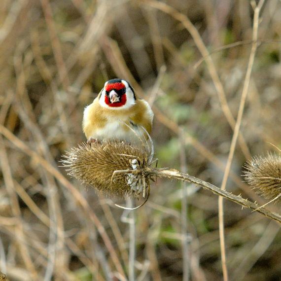 oiseaux,faune,nature chardonneret