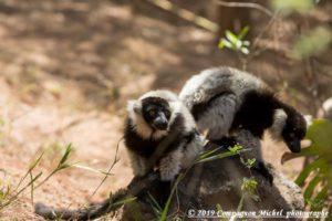 Faune de Madagascar lémuriens et Caméléons